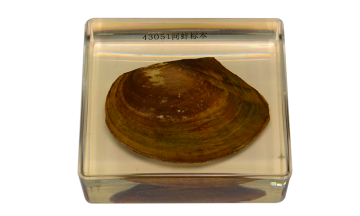 43051 mussel embedded specimens